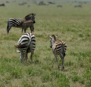 A baby zebra nursing.