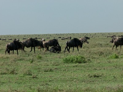 Wilderbeest in the Southern Serengeti as far as the eye can see.