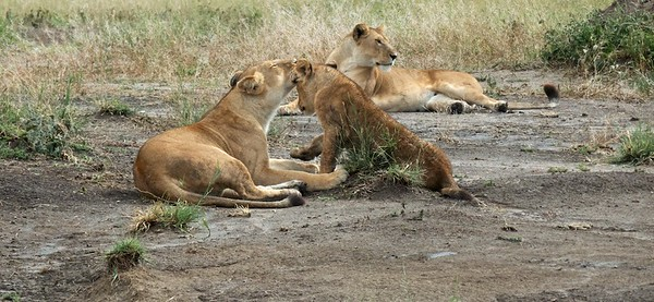 A family of lions relaxing.
