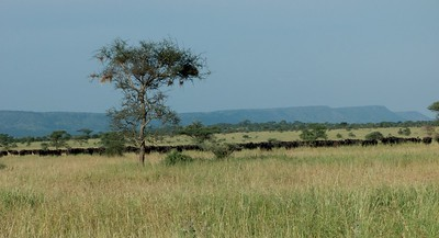 A large buffalo herd on the Serengeti savannah.