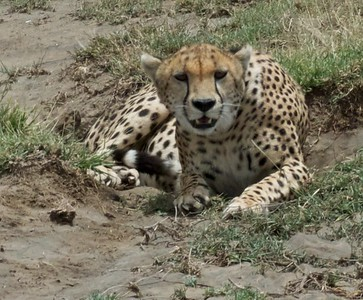 The only cheetah we saw in the Serengeti.