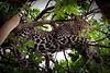 Leopard in Masai Mara sausage tree