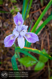 Wild Douglas Iris - Huckleberry Regional Preserve, Oakland, CA