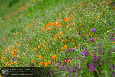 140503_7254_Bollinger_Canyon_Wildflowers