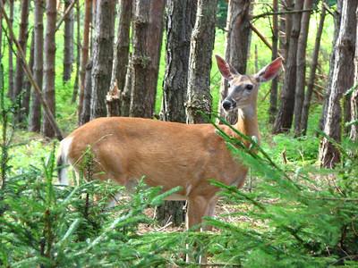 white-tail deer in balsam fir