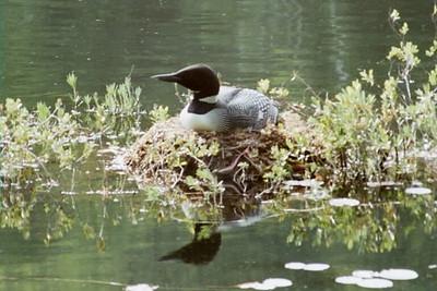 Adirondack common loon