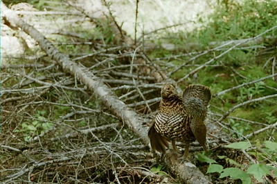 female spruce grouse