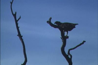 Florida osprey