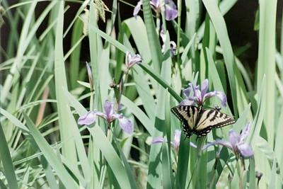 blue-flagged iris and tiger swallowtail