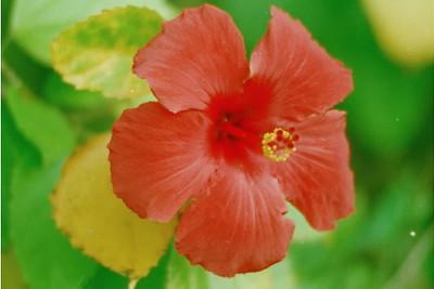 Hibiscus Tree Flower