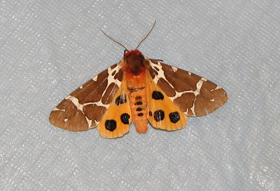 picnic table moth