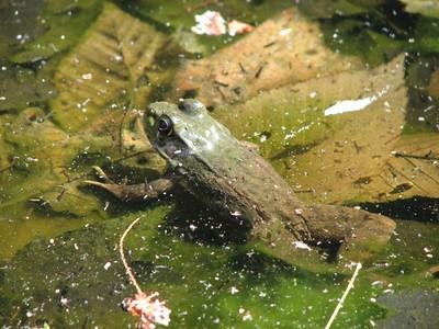green frog, NY