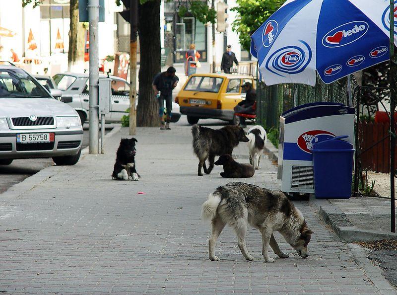 Þarna sést vel það vandamál sem flækingshundar eru í Rúmeníu.  Það var m.a.s. ráðist á Jóhann í Búkarest af hundum þannig að þetta er plága.