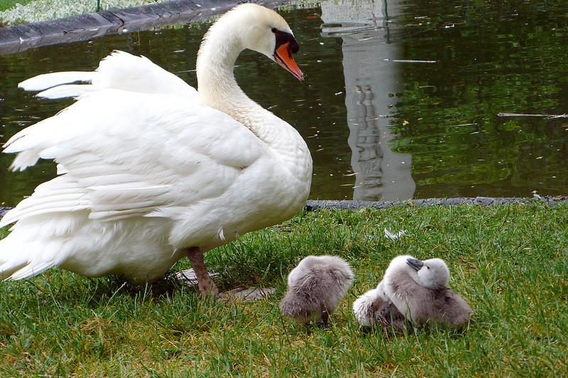Swan in Novi Sad, Serbia