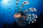 A common lionfish (Pterois volitans) flares its fins at Carl's Ultimate, Eastern Fields, Papua New Guinea