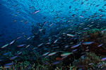 Millions of magenta slender anthias (Luzonichthys waitei) stream across the reef in strong current. Underwater photographer Tony Wu, on rebreather, is in the middle of it all. Carl's Ultimat ...