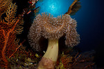 A lone mushroom leather coral (Sarcophyton sp.), commensal goby and sunball in a reef scenic. Ashmore Atoll, Australia