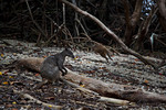 Wallaby at Loloata Island Resort, Papua New Guinea