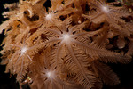 The polyps of an octocoral. Eastern Fields, Papua New Guinea