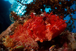 A scorpionfish thinks she's invisible, but I see her. Eastern Fields, Papua New Guinea