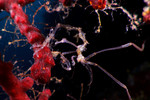 A skeleton shrimp (Caprella sp.) on a Gorgonian. There were tens of thousands -- or more -- of these guys on this particular gorgonian. Eastern Fields, Papua New Guinea. echeng091213_0246220