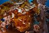 A leaf scorpionfish (Taenianotus triacanthus) on a Nepthea sp. soft coral, Ashmore Atoll, Australia