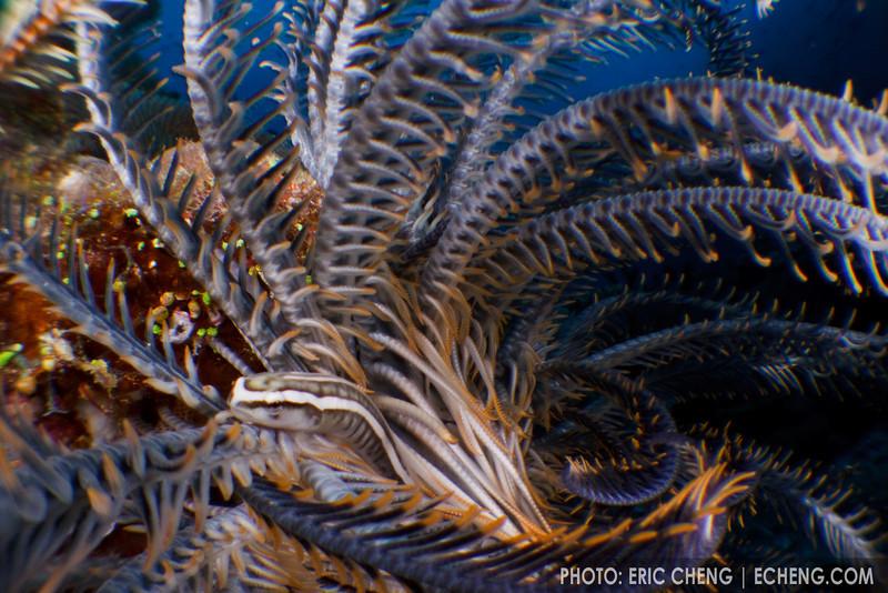 A crinoid clingfish (Discotrema crinophila) in a crinoid, Eastern Fields, Papua New Guinea