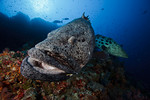 Two potato cods / potato groupers (Epinephelus tukula) at Carl's Ultimate dive site, Eastern Fields, Papua New Guinea