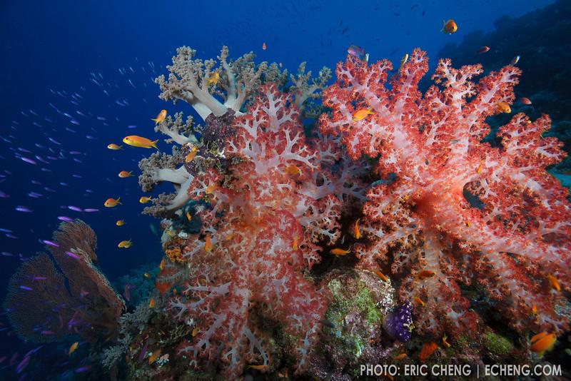 Bright Dendronepththya sp. soft corals, Ashmore Atoll, Australia