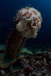 A Graeff's sea cucumber (Bohadschia graeffei) spawns, secreting sperm and eggs, Ashmore Atoll, Australia