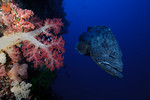 A potato cod / potato grouper (Epinephelus tukula) and Dendronephthya sp. soft coral in the deep at Carl's Ultimate, Eastern Fields, Papua New Guinea