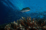 A blue jack (Carangoides ferdau) patrols the reef in front of streams of Magenta slender anthias (Luzonichthys waitei). Carl's Ultimate, Eastern Fields, Papua New Guinea