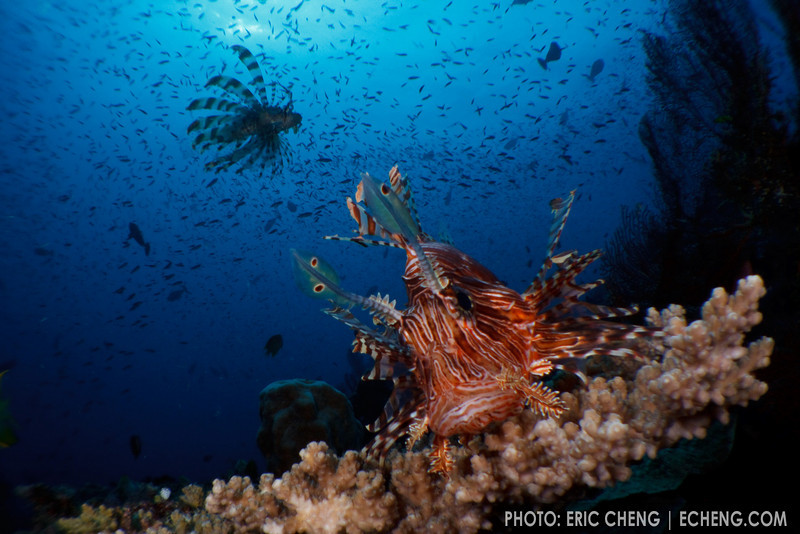 Common lionfish (Pterois volitans) hunt at Carl's Ultimate, Eastern Fields, Papua New Guinea