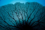 The veiny silhouette of an enormous Gorgonian sp. sea fan. Eastern Fields Atoll, Papua New Guinea. echeng091202_0243694