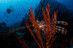 A common lionfish (Pterois volitans) hides in a Gorgonian sea fan at Carl's Ultimate, Eastern Fields, Papua New Guinea