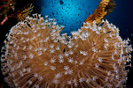 Mushroom leather coral (Sarcophyton sp.) and sunball abstract. Ashmore Atoll, Australia. echeng091201_0243422