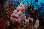 A giant frogfish in the Eastern Fields, Papua New Guinea. echeng091210_0245471