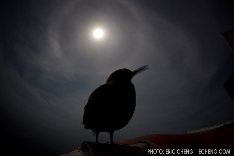 A bird rests on a zodiac at night under a full moon. Ashmore Atoll, Australia