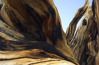 Ancient Bristlecone Forest, White Mountains