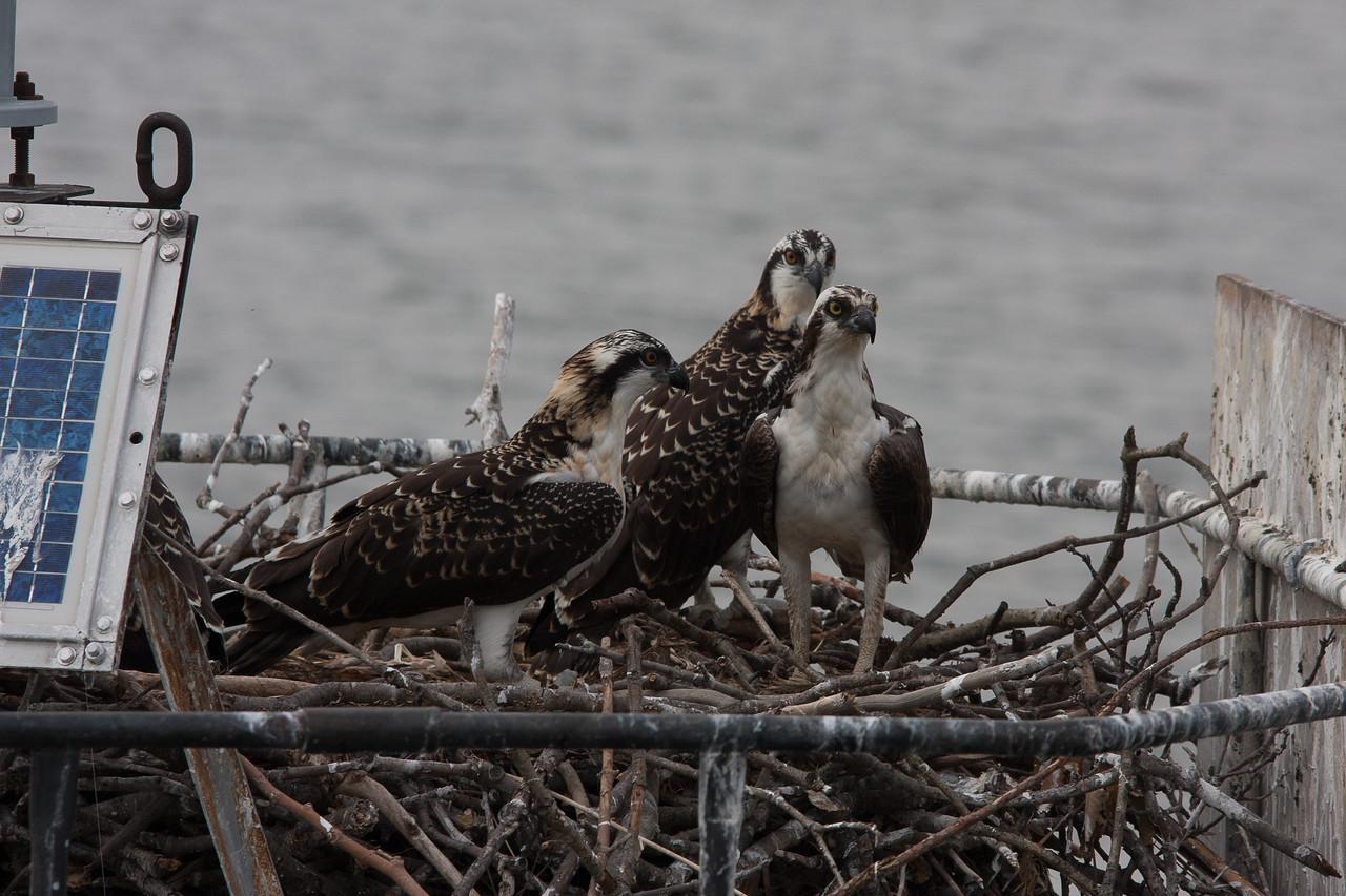 Ospreys on the Nest