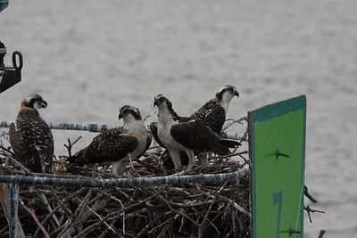 Ospreys on the Nest