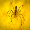 Spider on a hibiscus flower, Ecuador<br /> <br /> © Douglas Remington - Ethereal Light® Photography, LLC. Do not copy or download.
