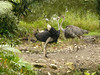 The jungle lodge brought over ostriches from Africa.