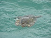 While sailing, tons of wildlife came right up to the boat. Here a sea turtle swims nearby.