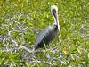 A pelican in the mangrove swamp of Black Turtle Cove.