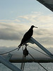 Frigate bird resting on the boat.