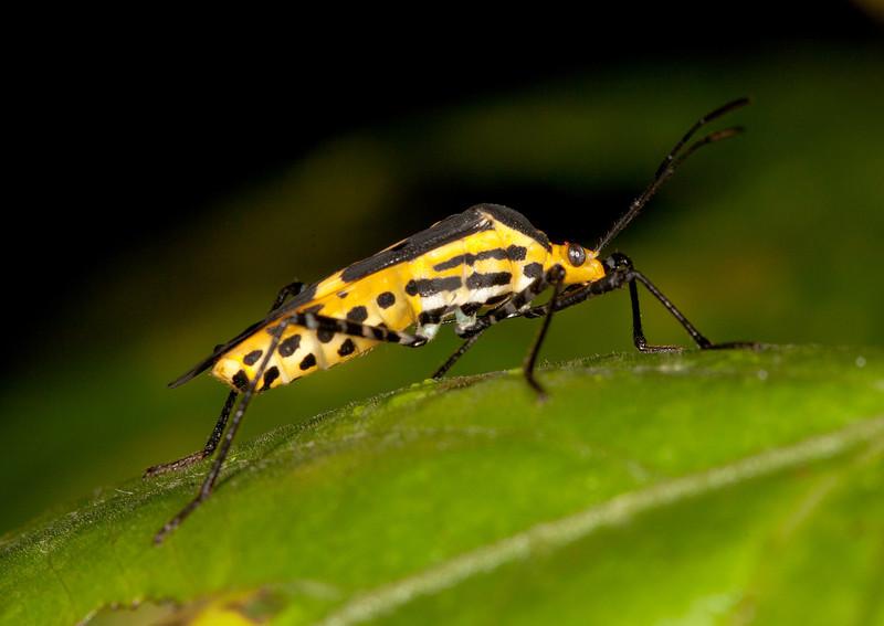Ecuador 2012: Mindo - 017 Coreid bug (Coreidae: Coreinae: Hypselonotini: Hypselonotus linea)