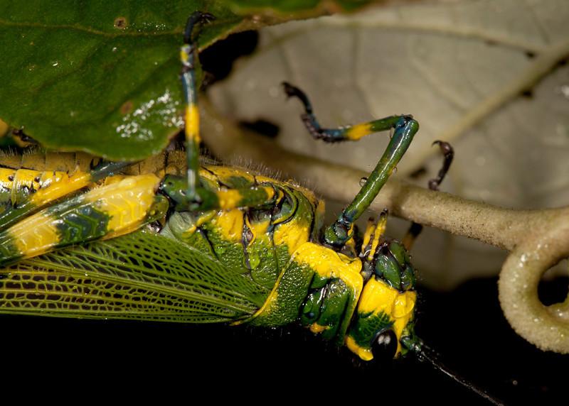 Ecuador 2012: Mindo - 010 Ecuadorian Lubber Grasshopper (Romaleidae: Romaleinae: Chromacris psittacus pacificus)
