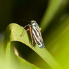 Ecuador 2012: Otavalo - Sharpshooter (Cicadellidae: Cicadellinae: Cicadellini: Stehlikiana crassa) at Laguna Cuicocha