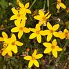 Ecuador 2012: Otavalo - Burr Marigolds (Asteraceae: Bidens andicola) at Laguna Cuicocha
